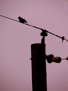 Bird on Telephone Pole